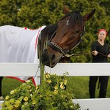 Kentucky Derby winner Orb attempts to snack on decorative flowers after a training session in preparation for the upcoming 138th running of