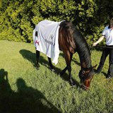 Exercise rider Jennifer Patterson grazes Kentucky Derby winner Orb after a morning workout in preparation for the upcoming 138th running of