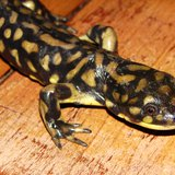 Eastern Tiger Salamander (courtesy of Flickr).