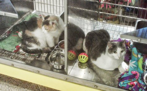 Cats up for adoption at the Marathon County Humane Society