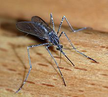 Mosquito, close up and personal.