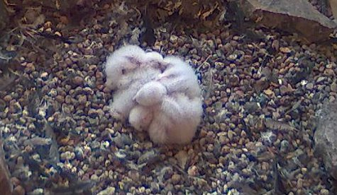 Four baby Peregrine Falcon chicks, less than a week old, at Weston III Power Plant in Rothschild, spring 2013.  Photo courtesy WPS
