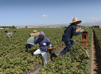 Field workers pick strawberries in Oxnard, California, April 16, 2013. In California, laborers from Mexico and Central America help make it