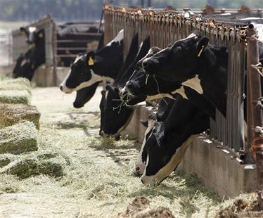 Cows eating hay on a Midwest dairy farm. (Reuters)