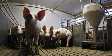 Pigs stay in their box beside a food dispenser (R) at a pig farm in Bockel between Bremen and Hamburg January 14, 2011. REUTERS/Christian Ch
