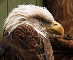 Bald Eagle file photo