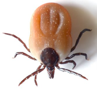 This image shows a 4.5 x 2.8 mm small, living tick from top. By André Karwath aka Aka (Own work) [CC-BY-SA-2.5 (http://creativecommons.org/licenses/by-sa/2.5)], via Wikimedia Commons