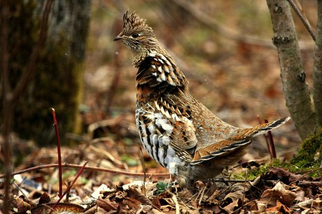 Ruffed Grouse (courtesy of Flickr).