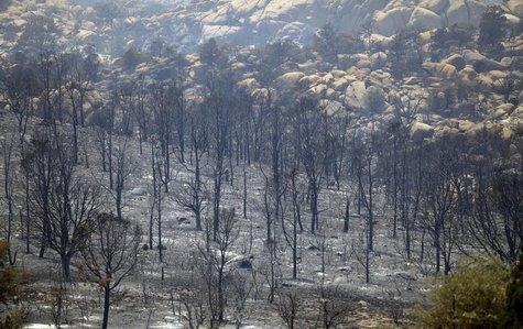 Charred trees burnt during the Doce Fire stand along a mountain side in Yavapai County, Arizona June 19, 2013. REUTERS/Joshua Lott
