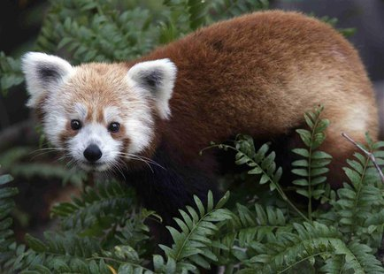 An endangered red panda named Rusty is seen in this undated handout photo released by the Smithsonian National Zoo June 24, 2013. REUTERS/Ab