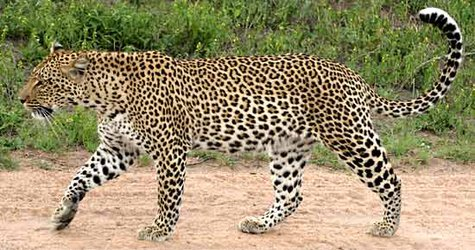 Leopard file photo