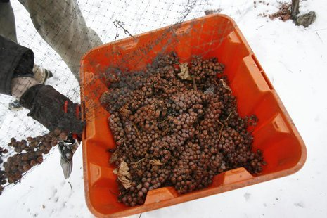 Winemaker Romeo Meale hand picks frozen ice-wine grapes missed by a mechanical harvester under ideal -10 degrees Celsius temperatures at Kon