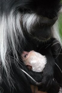 Mother and baby Angolan colobus monkey