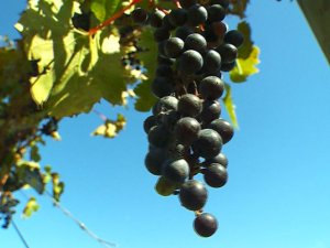 Minnesota wine industry grapes