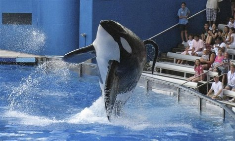 "Tillikum, a killer whale at SeaWorld amusement park, performs during the show ""Believe"" in Orlando in this September 3, 2009 file photo. REU"