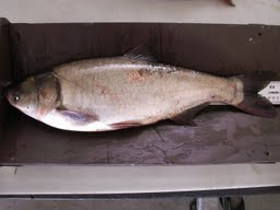 Silver Carp caught in James River