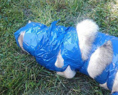"""Paco"" the dog was taken from his Stratford home, and returned several days later wrapped in duct tape.  This photo was posted on Facebook."