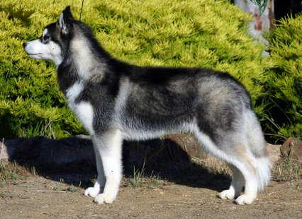 Siberian Husky (Photo by: Utopialand/Wikimedia Commons).