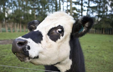 A cow is seen near the fence of a pastoral farm near Auckland August 6, 2013. REUTERS/Nigel Marple