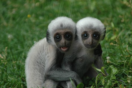 Lake Superior Zoo baby Angolan Colobus Monkeys