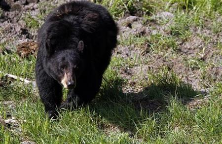 A black bear roams near the Lamar Valley in Yellowstone National Park, Wyoming, June 24, 2011.  Credit: Reuters/Jim Urquhar