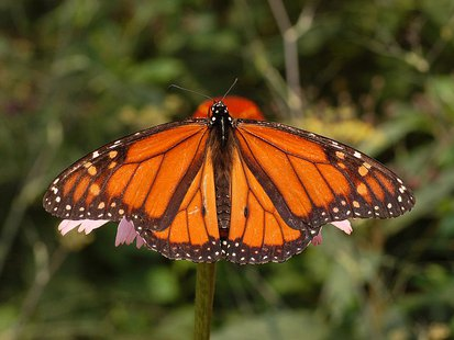 A male Monarch butterfly