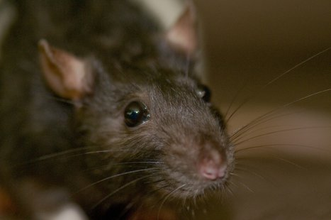Rat (Photo by: ArtBrom/Flickr)