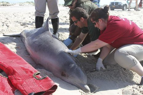 Officials examine a dead bottlenose dolphin that washed ashore on the Long Island, New York shoreline in this August 9, 2013 file handout ph