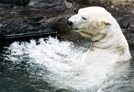 "Gus, a 17-year-old polar bear, frolics near the vent of a water circulation system called ""endless pool,"" which simulates a natural current,"