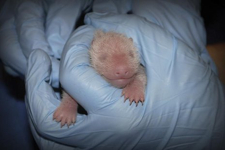 The giant panda cub born 5:32 p.m. on August 23, 2013 at the Smithsonian's National Zoo is pictured receiving an exam from animal care staff