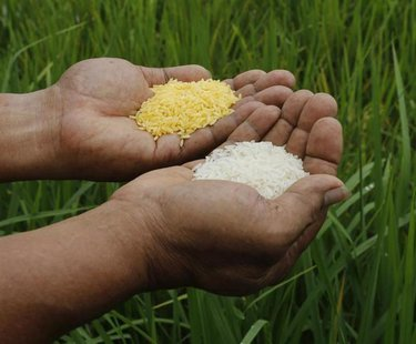 "A scientist shows ""Golden Rice"" (L) and ordinary rice at the laboratory of the International Rice Research Institute in Los Banos, Laguna so"