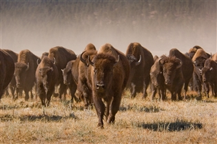 Custer State Park invites visitors to attend the annual Buffalo Roundup on Friday, Sept. 27.  (GFP.SD.gov)