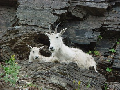 The South Dakota Game, Fish and Parks Department recently relocated 22 mountain goats from Utah to South Dakota Black Hills. (mitchlee83 photo)