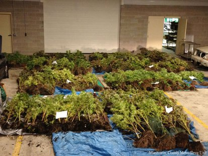 Law enforcement in Manitowoc County seized 285 marijuana plants in the Town of Mishicot on Friday, September 20, 2013. (Photo by: Manitowoc County Metro Drug Unit).