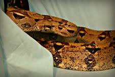 A picture of Finley, the boa constrictor found in Sheboygan County.