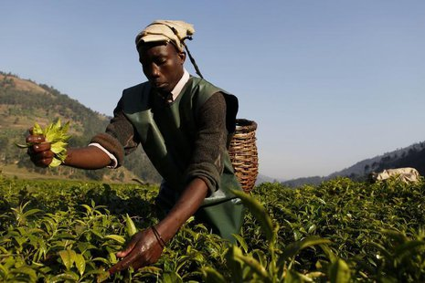 A Rwandan tea picker works in a field at Mulindi estate, about 60 km (40 miles) north of the capital Kigali, August 5, 2010. REUTERS/Finbarr