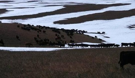 S.D. Farm Bureau released a number of resources available to help ranchers who lost livestock in the Atlas blizzard. (S.D. Farm Bureau.org)