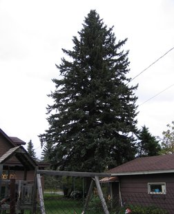 State tree in its natural habitat, in the yard of an Iron River couple.