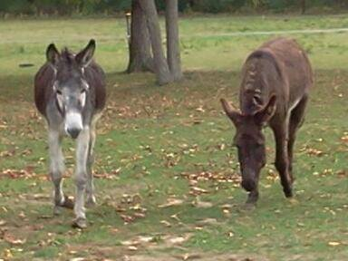 Donkeys Up For Adoption  pic 3 from The Horse Shoe Equine Rescue
