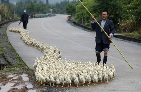 A breeder, whose business has been affected by the H7N9 bird flu virus, walks his ducks along a road in Changzhou county, Shandong province,