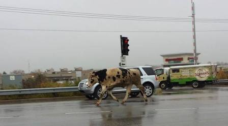 Bull on the loose (Courtesy KFIZ)
