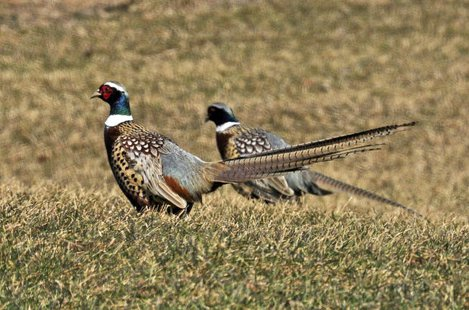 Spaces are filling fast for the Governor's Pheasant Habitat Summit, scheduled for Dec. 6 at the Crossroads Convention Center in Huron. (KELO File)