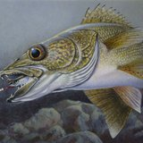 Stuart Nelson's winning contest entry for the DNR's 2014 walleye stamp contest