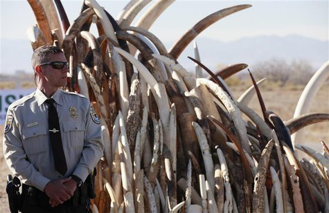 Bryan Yetter, a federal wildlife officer with the U.S. Fish and Wildlife Service stands guard next to a huge pile of confiscated elephant tu