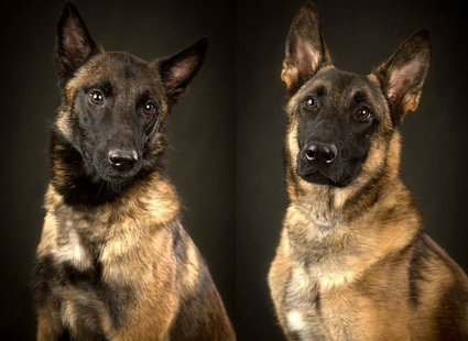 Radar (Left) and Leo (Right) Marathon County Sheriff's Department K9's