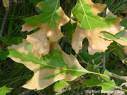 Oak Wilt damage.  Photo: Iowa State University