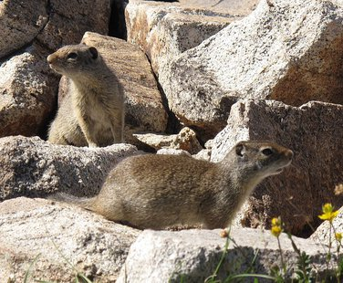 Uinta Ground Squirrels (Photo from: Mscalora/Creative Commons).