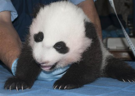 The newest baby panda born at the Smithsonian's National Zoo is seen in a handout picture taken in Washington October 29, 2013. REUTERS/Abby