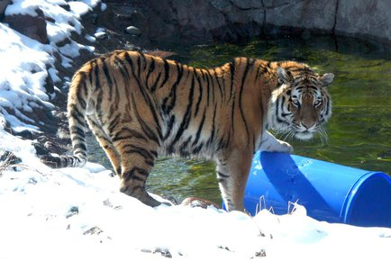 Ussuri the Amur Tiger