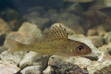 Eurasian Ruffe (Photo from: Tiit Hunt/Creative Commons).